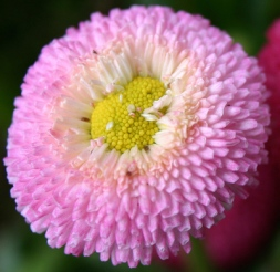 Gänseblümchen Zuchtvariante