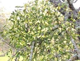 Mistel auf Obstbaum